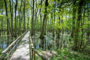 Footbridge over the Cypress swamp - safer than wadding!
